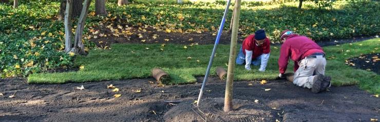 employee installing sod