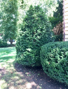 Pruned hedge and evergreen tree