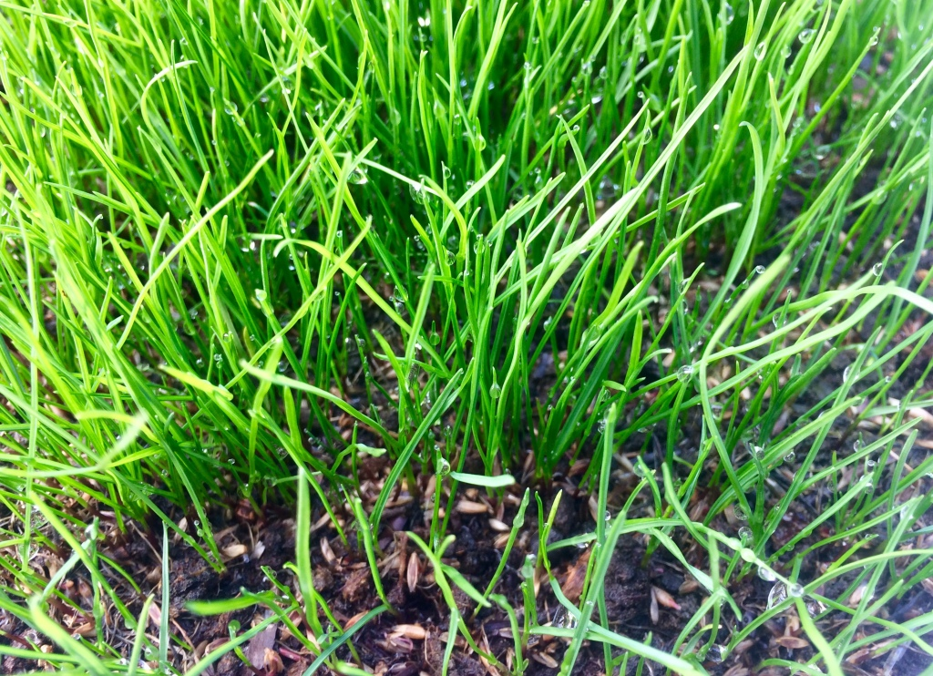 Lawn seeding results in Fall